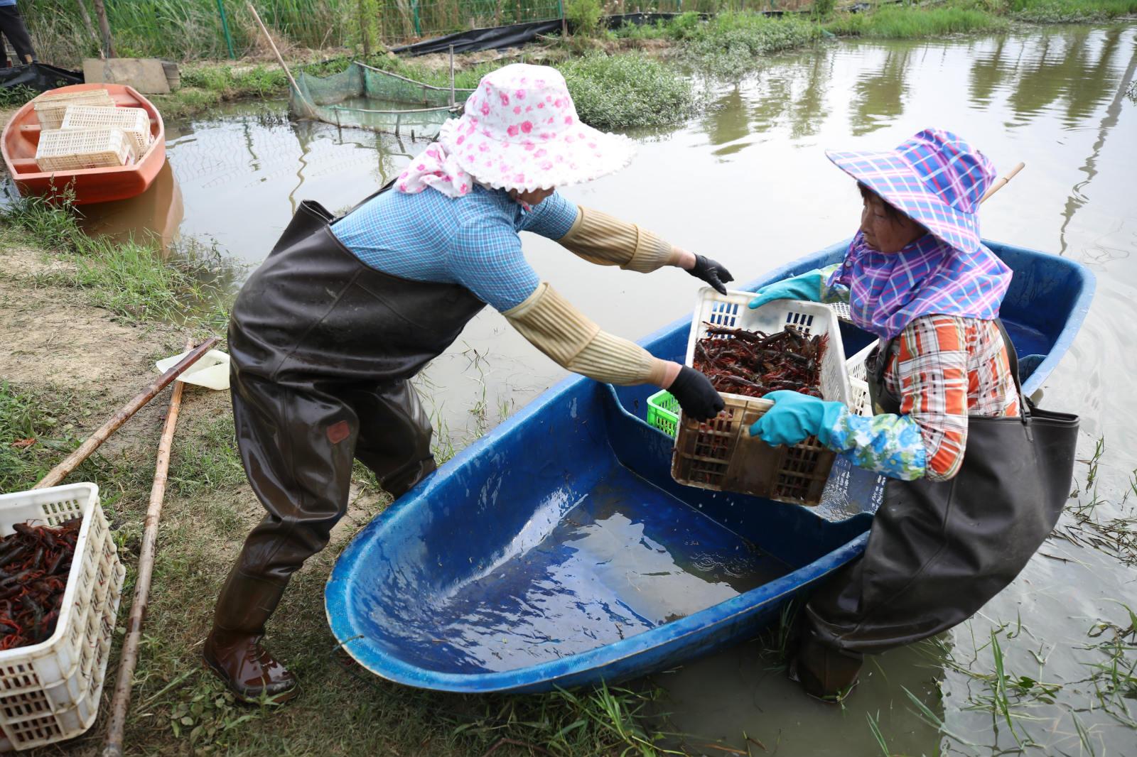 5月29日,湖北省荆州市沙市区观音垱镇,荆香缘小龙虾养殖基地内,农户将满载小龙虾的船只靠近岸边。_meitu_8