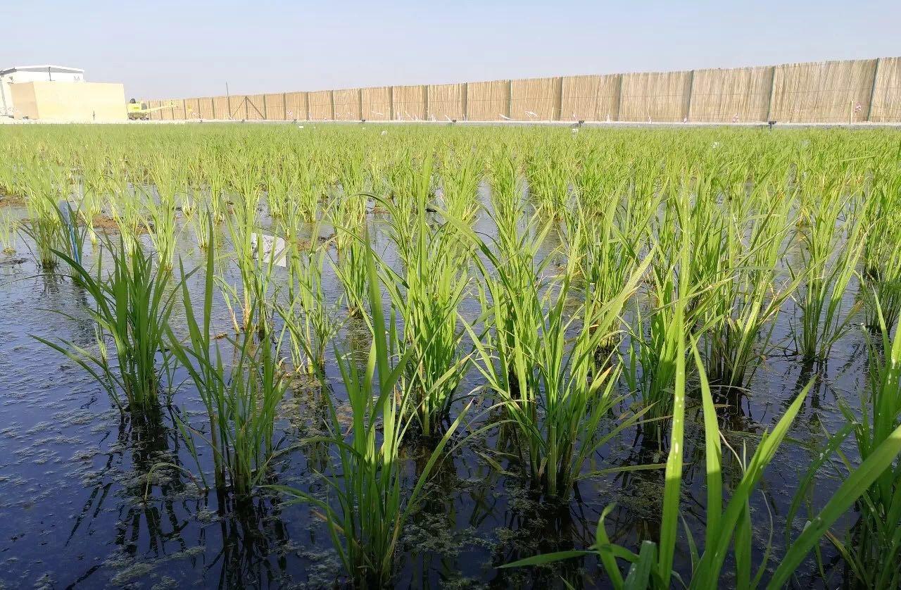 海水稻在迪拜试种