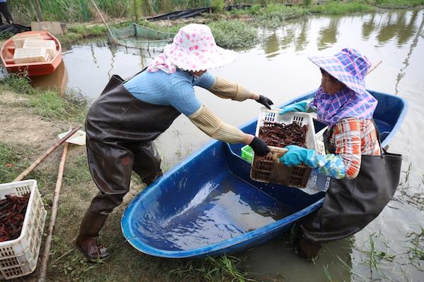 小龙虾养殖基地内,农户将满载小龙虾的船只靠近岸边