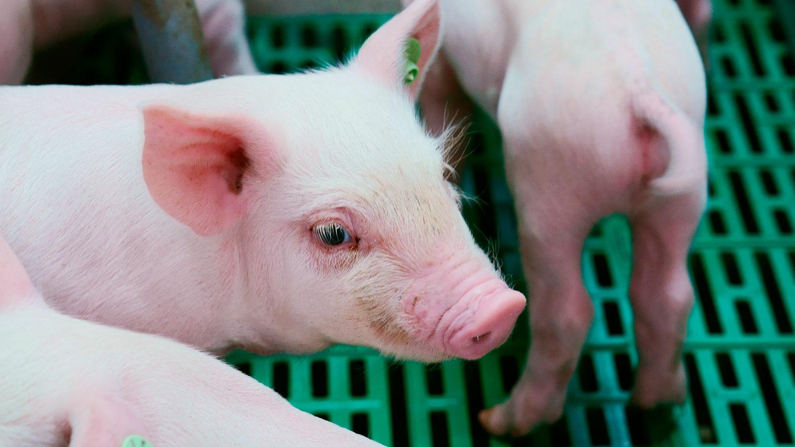艾瑞克农场里的小猪_meitu_8