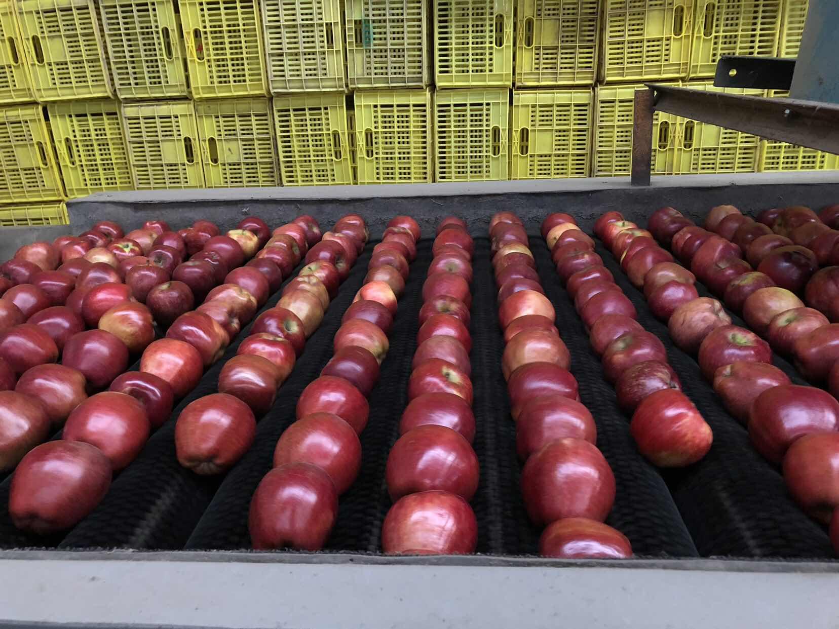 礼县苹果正在通过分拣设备准备寄往全国各地的买家。