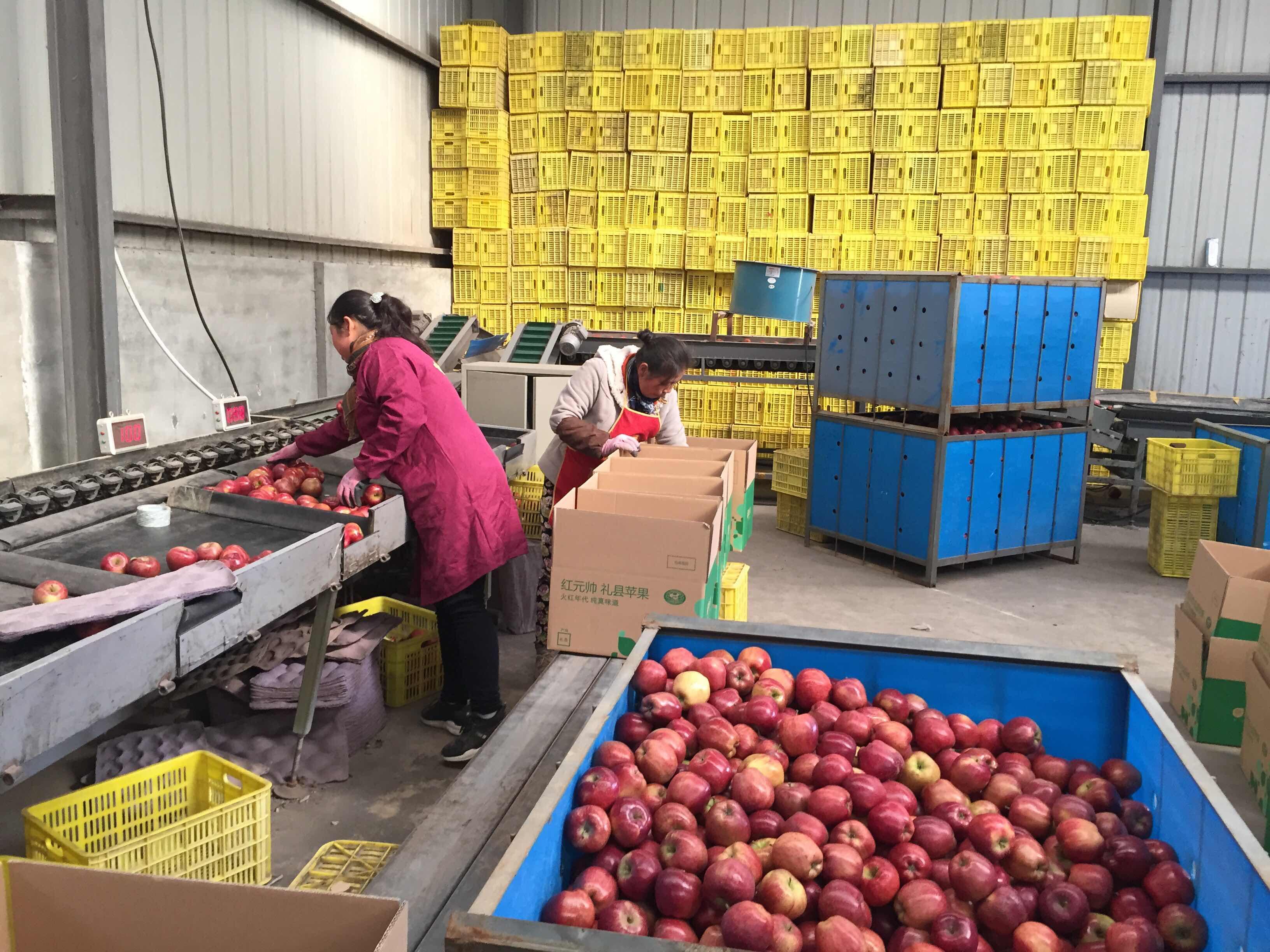 """礼县苹果正在通过分拣设备。从""""全国最便宜的苹果""""到一天卖出50万斤,通过阿里巴巴农村淘宝,礼县苹果实现逆袭。"""