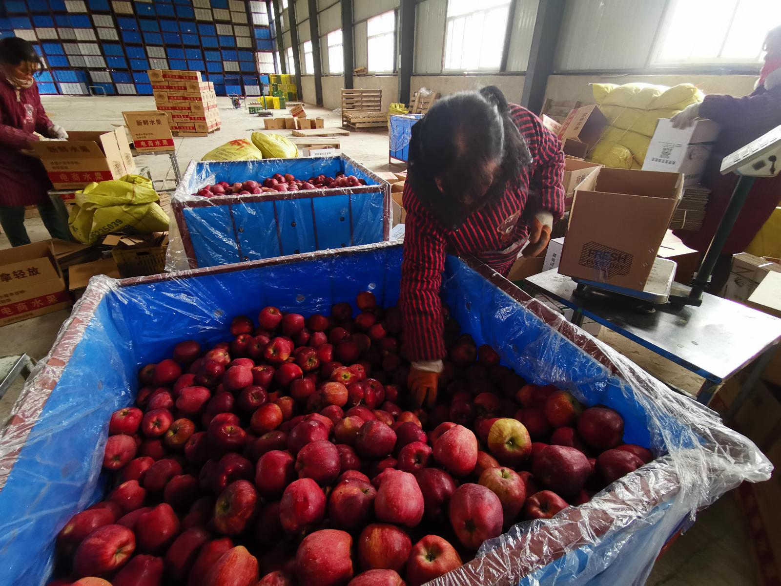 王辉的车间里,工厂工人正在给线上订单打包礼县苹果装箱发货_meitu_3